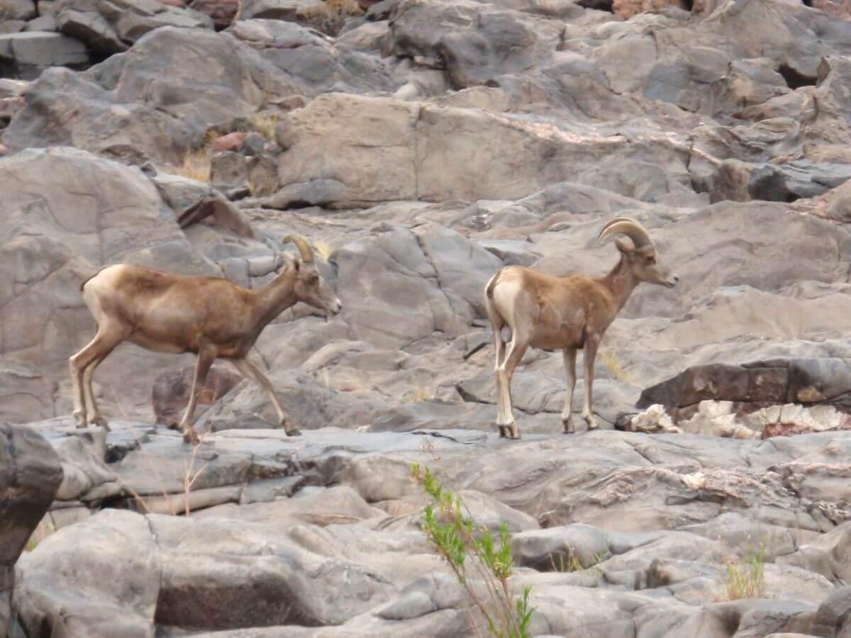 Gut getarnte Mufflons am Ufer im Grand Canyon