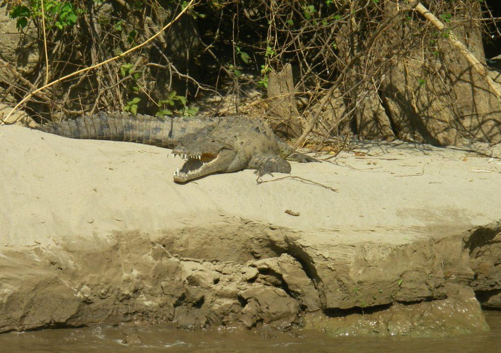 Krokodil am Ufer.