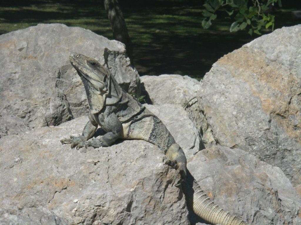 Leguan sonnt sich auf Felsen.