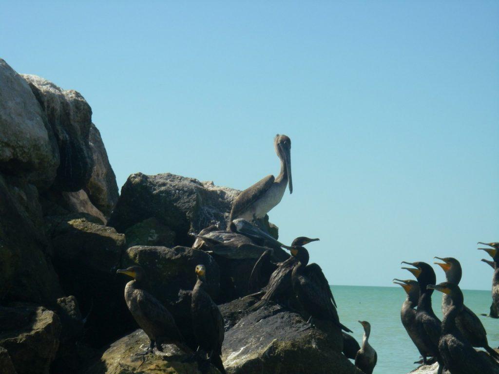 Pelikane auf den Felsen.