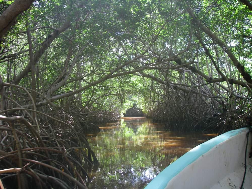 Tunnel aus Mangrovenbäumen über dem Wasserlauf.