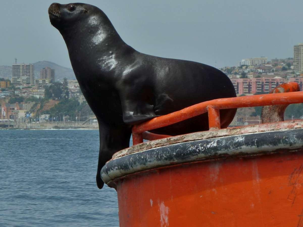Seelöwe auf roter Tonne