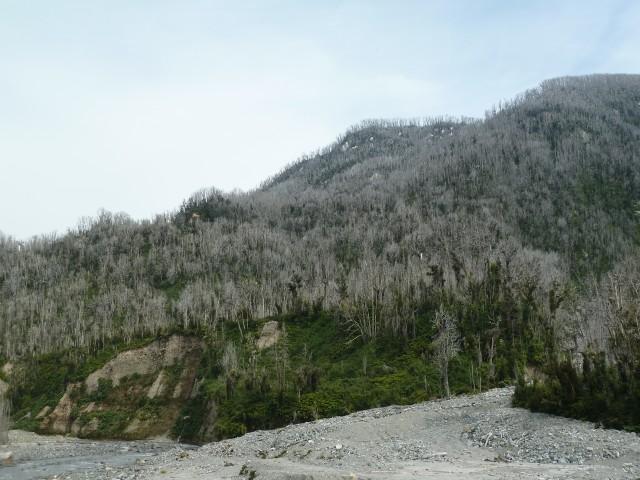Von Vulkanasche erstickte Vegetation bei Chaitén