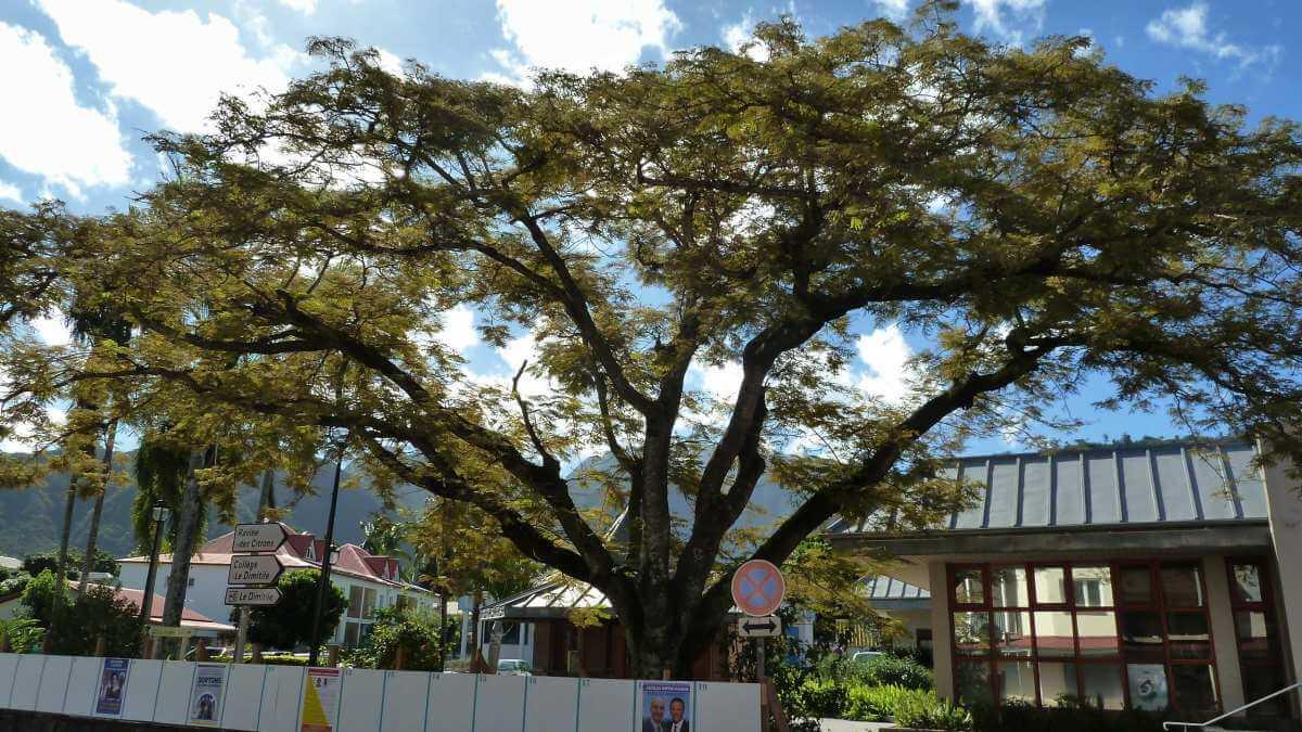 Ausladender großer Baum.