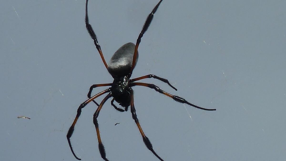 Sehr große schwarze Spinne.