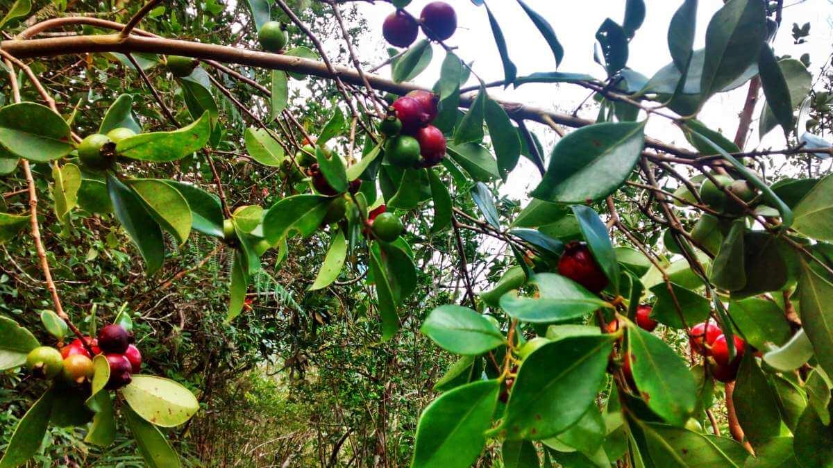 Strauch mit kirschgroßen roten Früchten.
