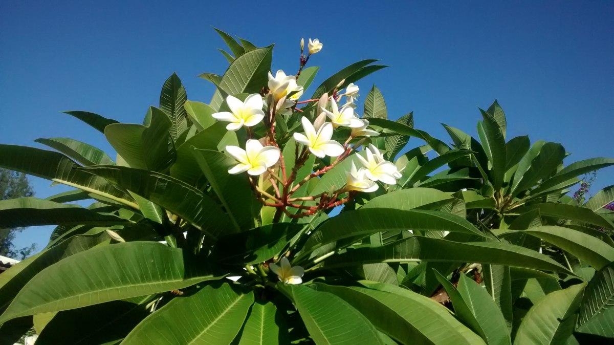 Frangipany-Baum auf La Reunion.