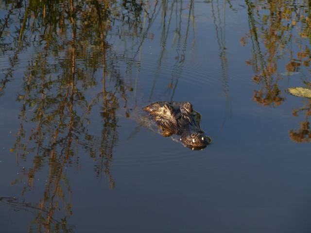 Kaiman schwimmt im Wasser