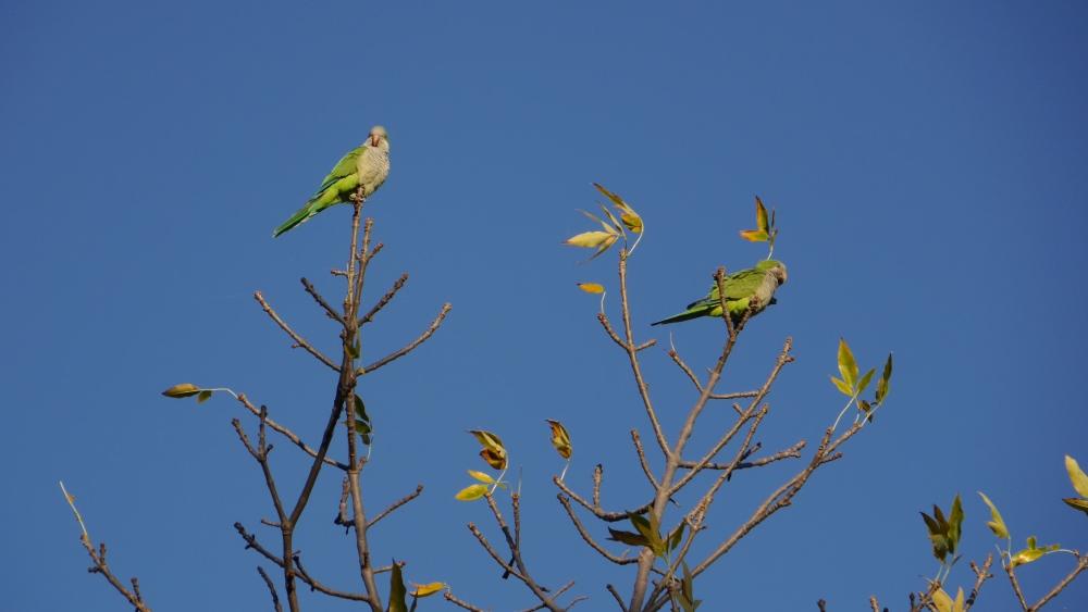 Gelb-grüne Papageien sitzen auf den Ästen.