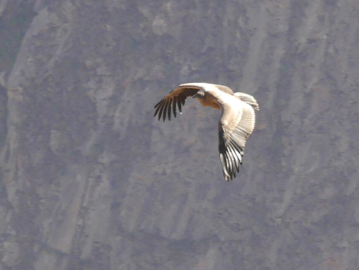 Noch ein fliegender Condor.
