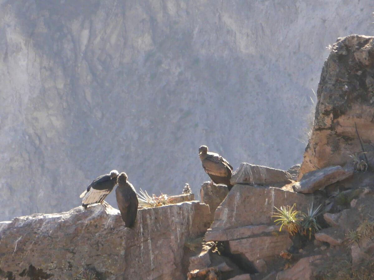 Drei Condore sitzen auf einem Felsgrat im Colca Canyon.