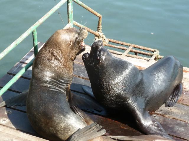 Zwei Seelöwen fauchen sich an.