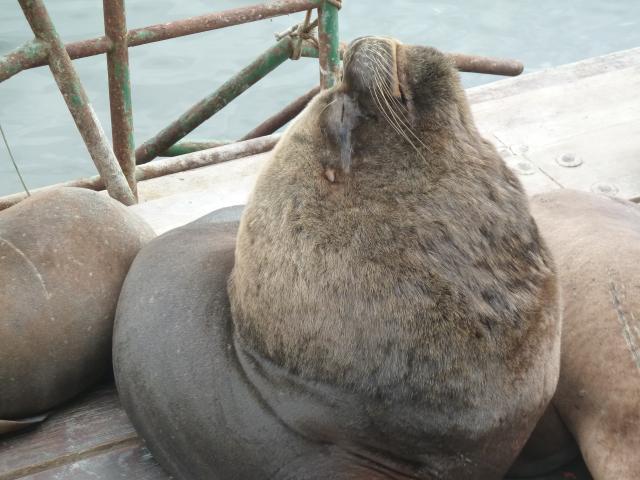 Seelöwen-Bullen streckt den Kopf hoch.