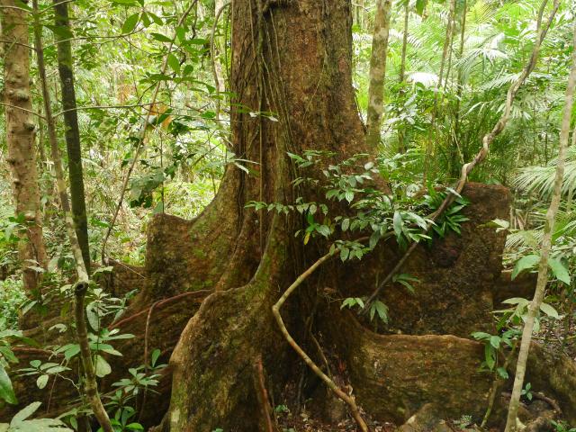 Mächtige Stützpfeiler-Wurzeln der Urwaldriesen