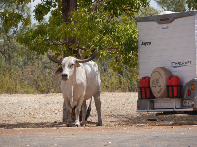 Streunender Büffel am Parkplatz des Roadhouse