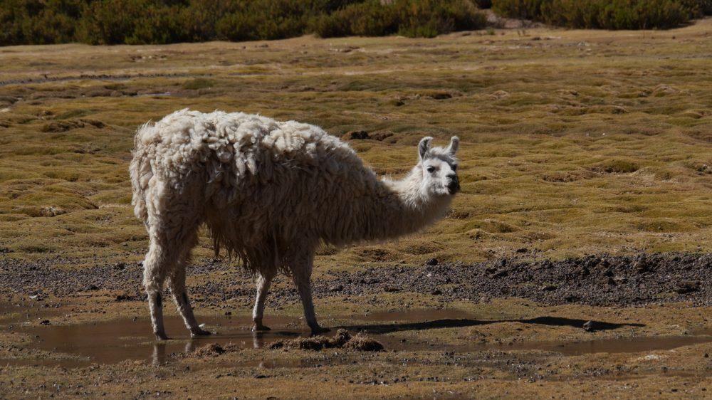 Lama in Südamerika.