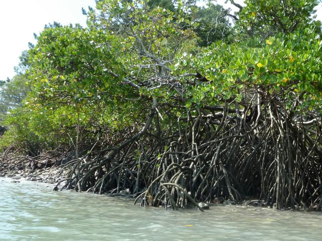 Mangroven von ganz nah