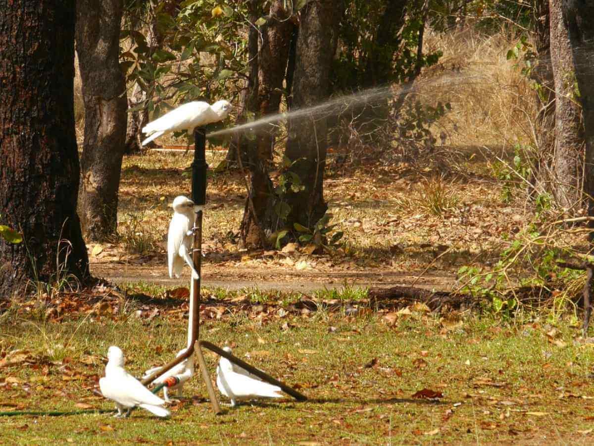 Kakadus turnen am Wassersprenger rum.