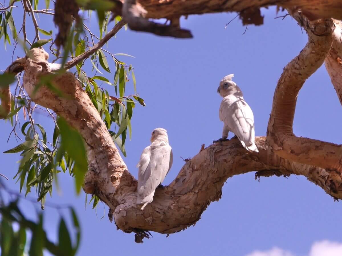 Zwei weiße Kakadus sitzen auf einem Ast.