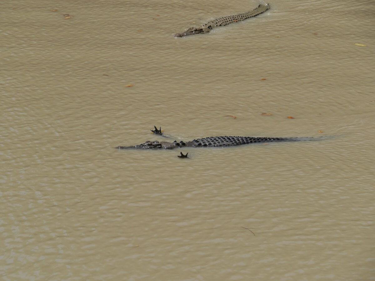 Krokodil mit gespreizten Krallen schwimmt im Fluss.