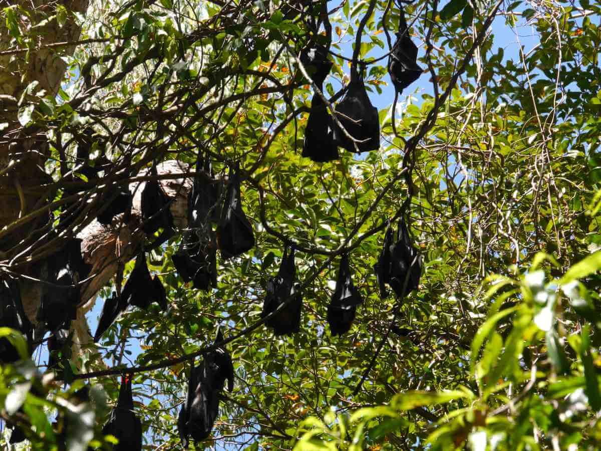 Flughunde hängen in einem Baum.