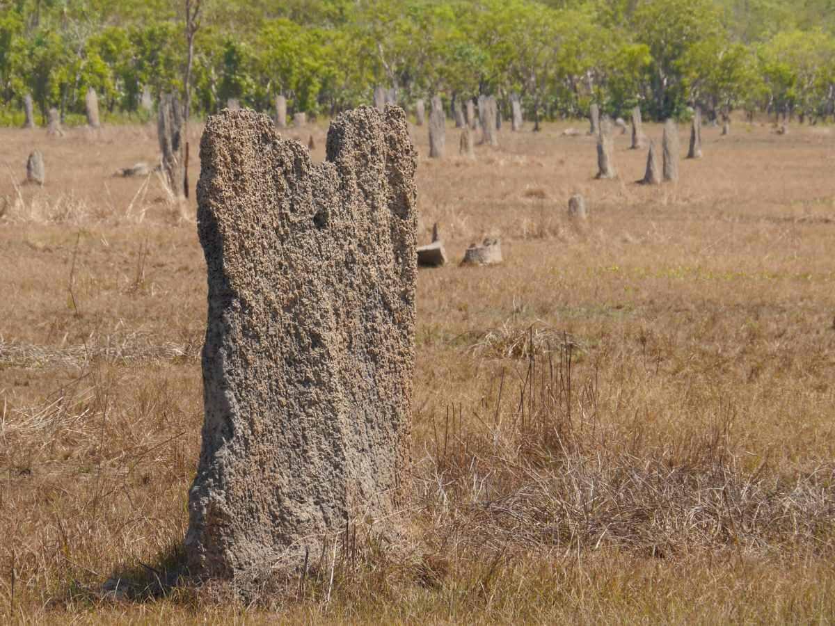 Flache brettähnliche Termitenbauten.