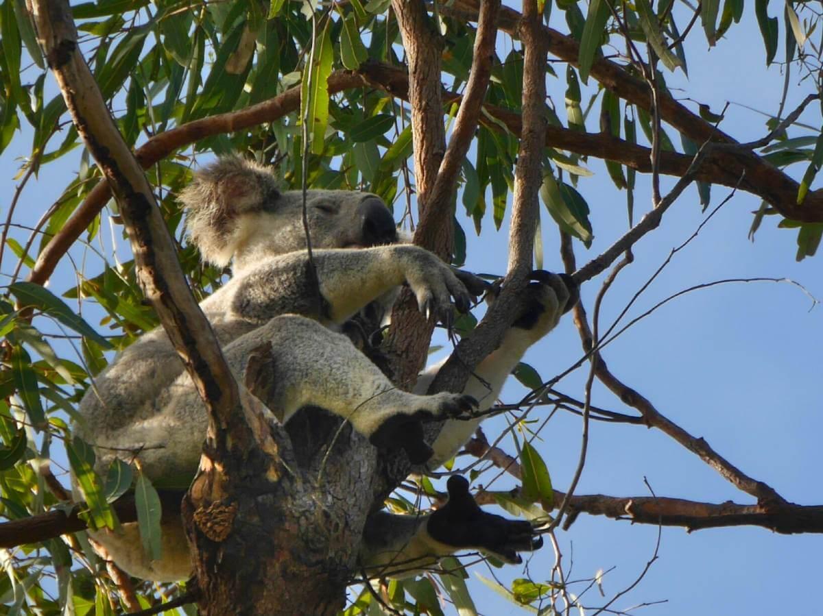 Koala im Baum.