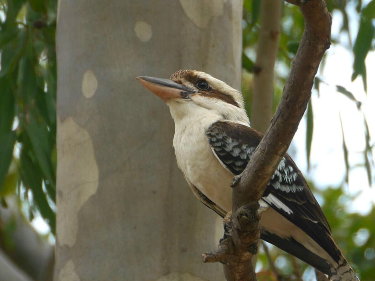 Ein Kookaburra sitzt auf einem Ast.