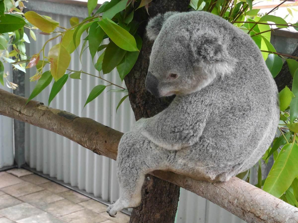 Koala sitzt auf einem Ast.