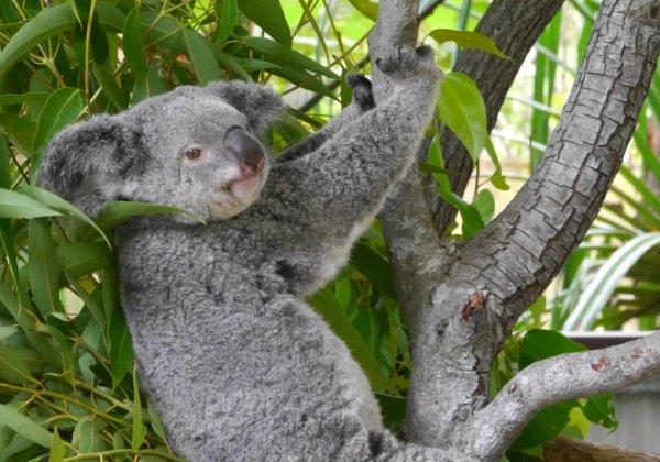 Magnetic Island: Koalas und Traumstrände