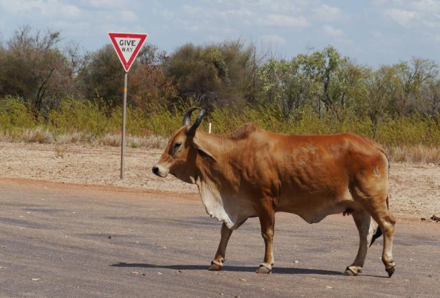Typische Outbacksituation: Vorfahrt für Büffel