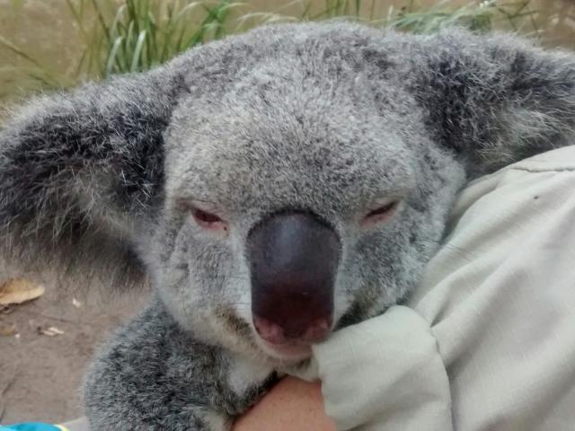 Man kann gar nicht genug Koala-Bilder haben...