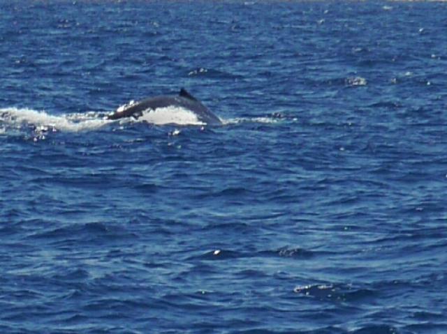 Walrücken taucht aus dem Meer.