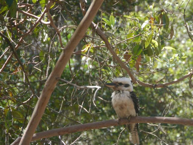 Kookaburra sitzt auf einem Ast.