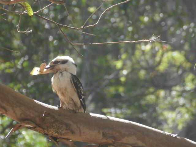 kookaburra mit Käse im Schnabel.