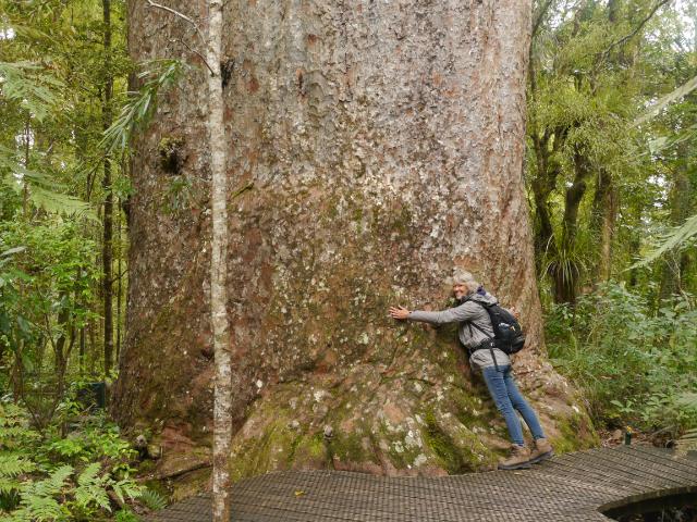 Das ist nicht der größte Kauri. Aber der, an den wir am nächsten dran kamen