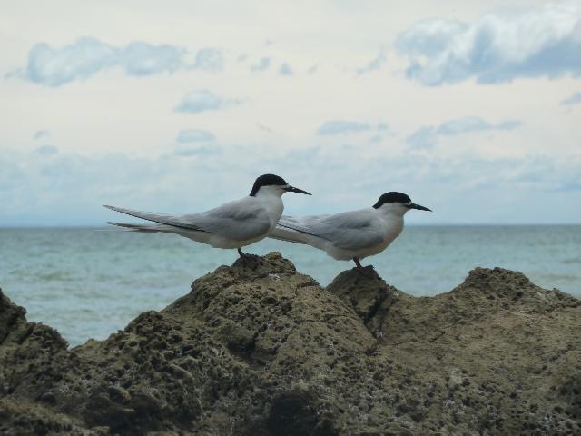 Zwei Seeschwalben sitzen auf dem Felsen.