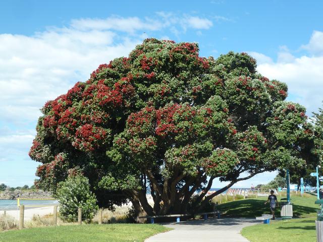 In Tauranga bringen die ersten Pohutukawa-Bäume zu blühen