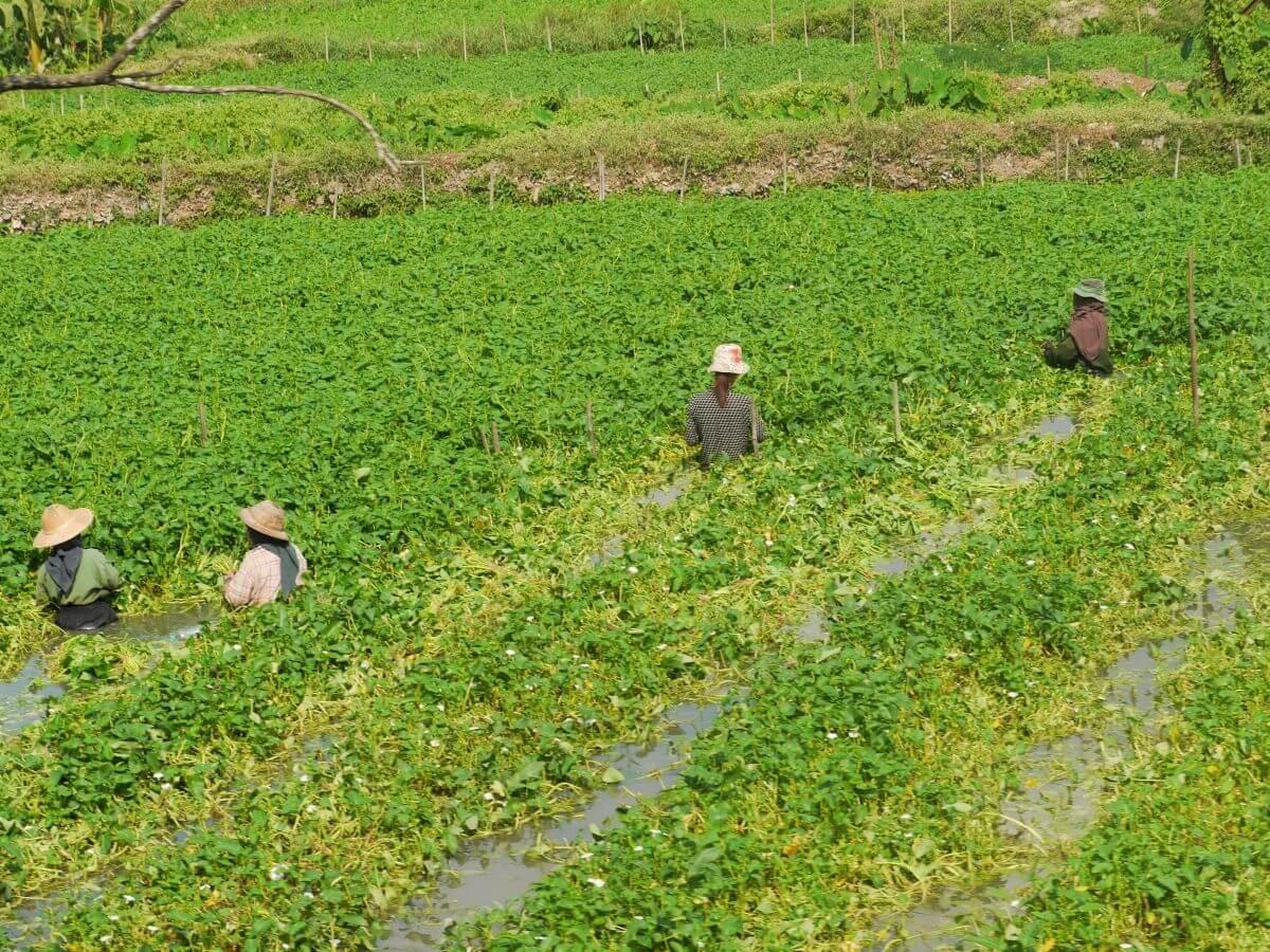 Bauern stehen hüfttief im Wasser auf einem grünen Feld