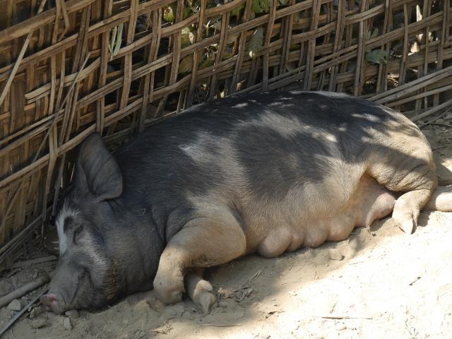Eine große Sau schläft am Zaun im Schatten