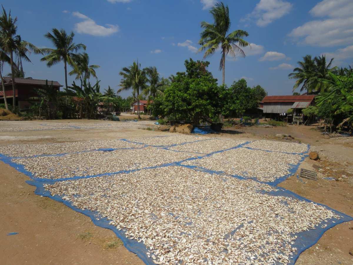 Auf blauen Planen liegen weiße Maniok-Stücke auf dem Boden.