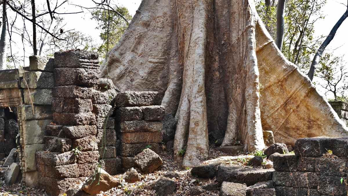 Großer Baum überwuchert Mauerreste des Tempels.