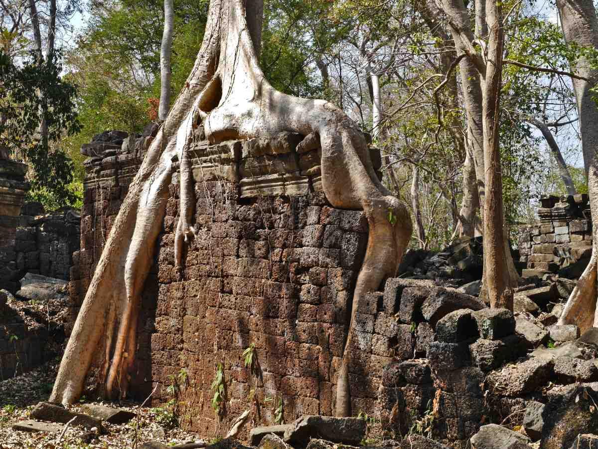 Baumwurzeln umschlingen Tempelmauern.