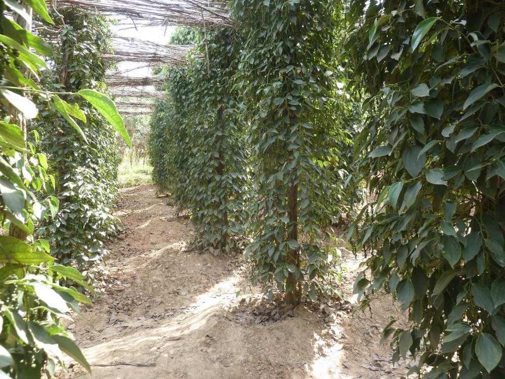 Reihen von Pfefferpflanzen.