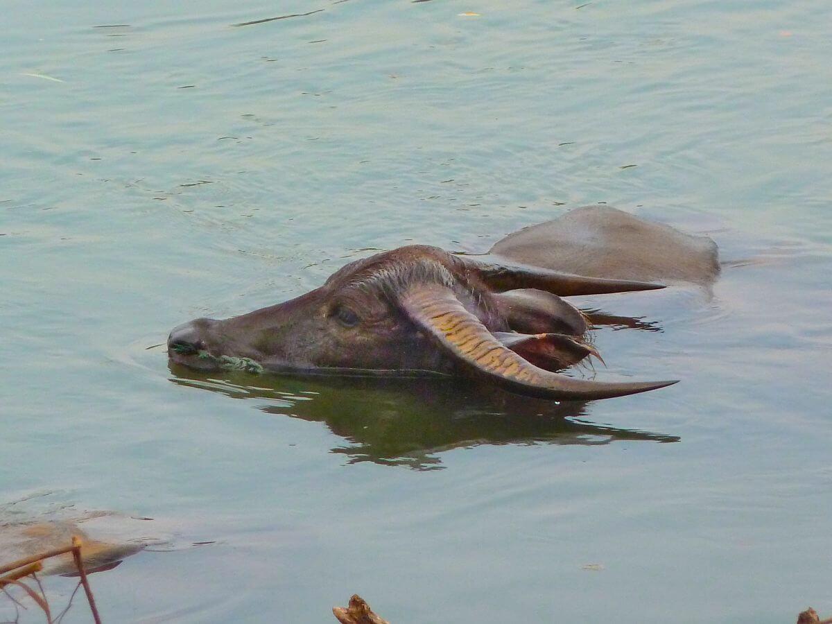 Wasserbüffel im Mekong, nur der Kopf schaut hervor