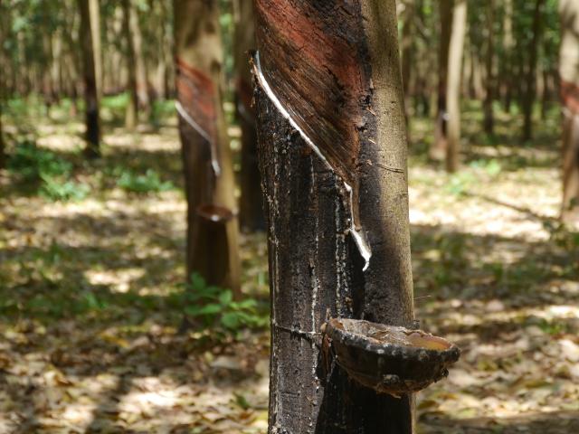 Kampong Cham Kautschukbäume