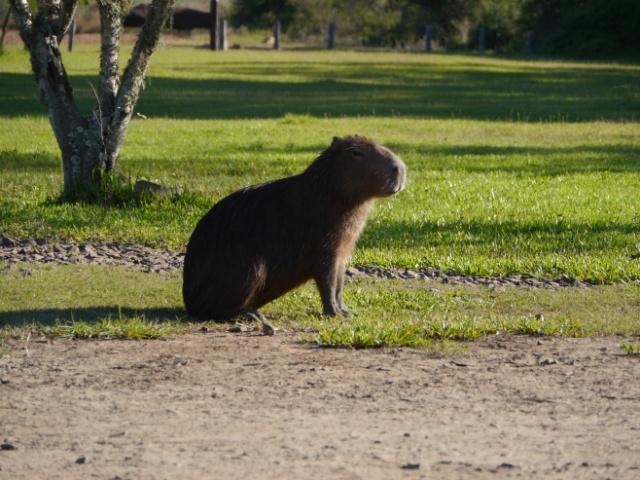 Weltreise Wasserschwein Argentinien