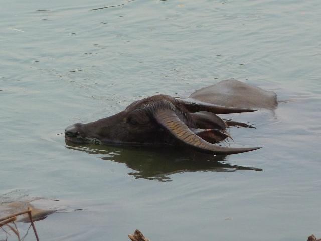 Weltreise Wasserbüffel Mekong