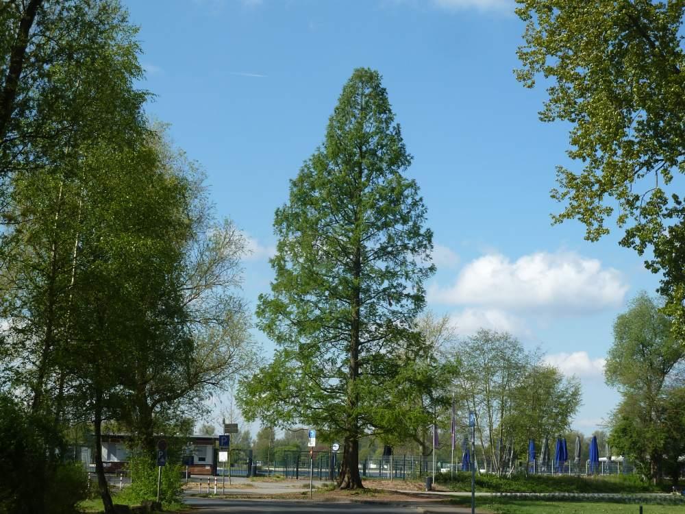 Mammutbaum am Unterbacher See.