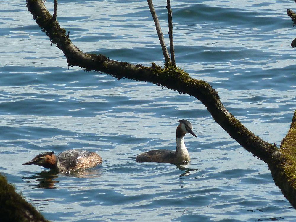 Zwei Haubentaucher schwimmen auf dem Unterbacher See.